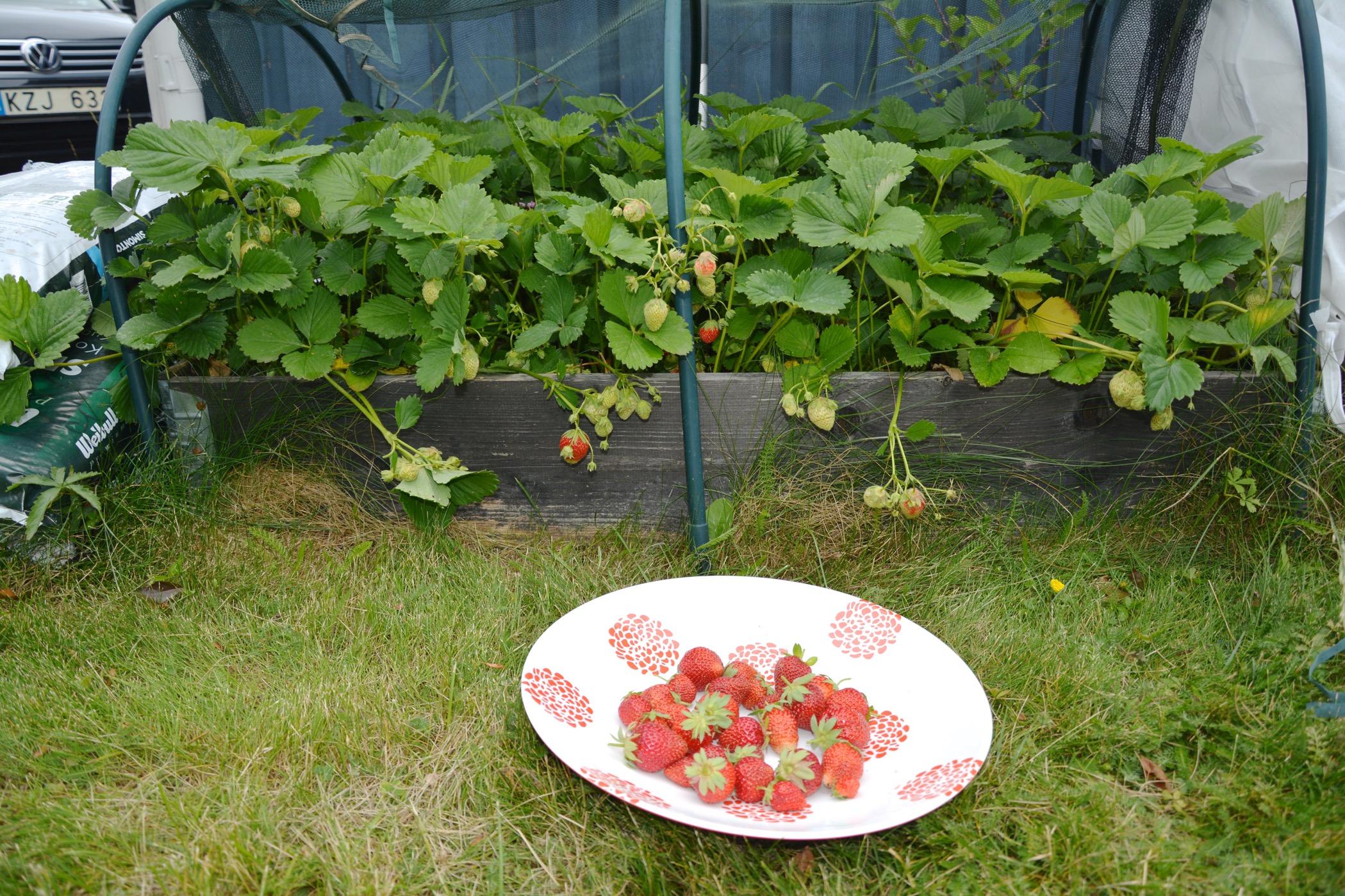hur många jordgubbar i en pallkrage