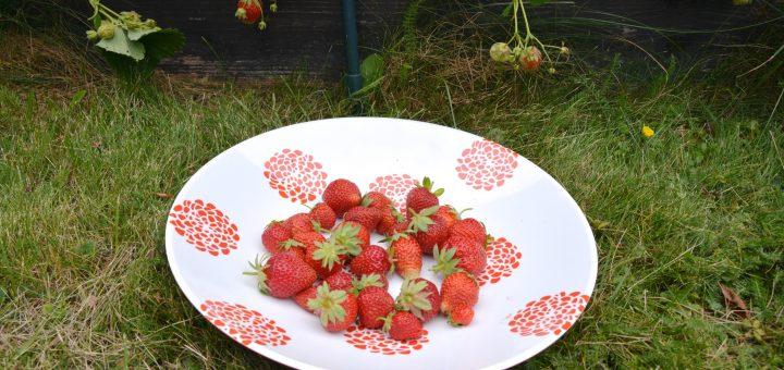 Inget slår hemodlade jordgubbar!