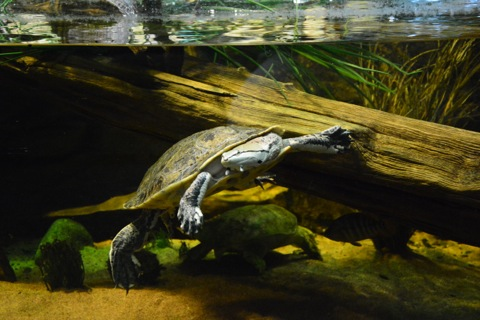 Sköldpadda inne på Tropicarium
