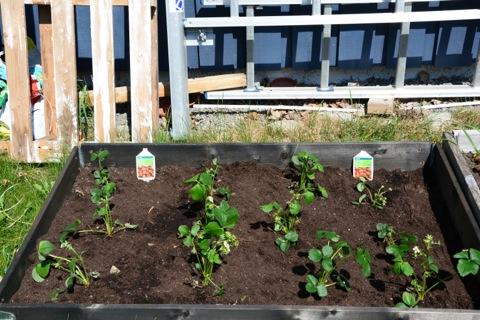 Odling av jordgubbar