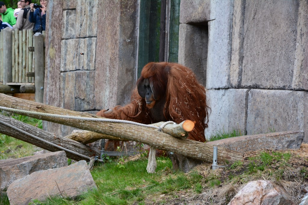 Utfodring av orangutangerna.