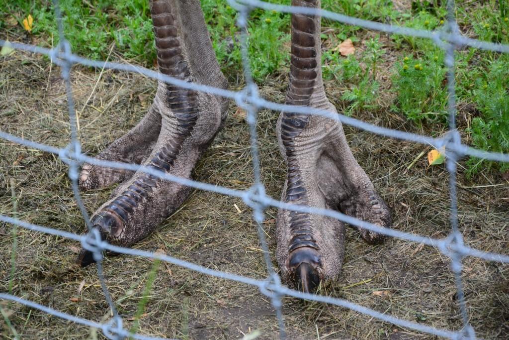 Strutsen med sina fötter som lätt kan döda en människa.