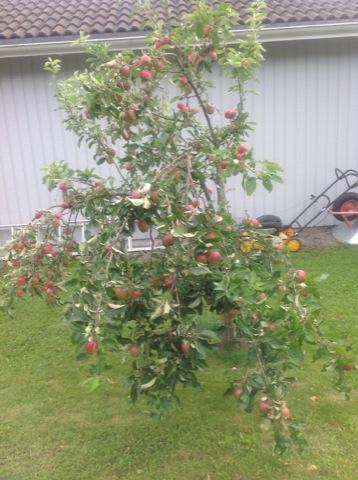 Äppelträdet vi har på tomten