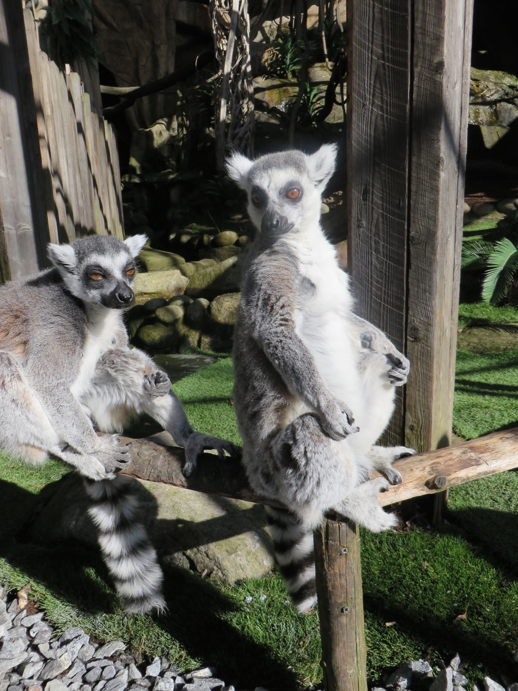 Även lemurerna njuter av den sköna solen!