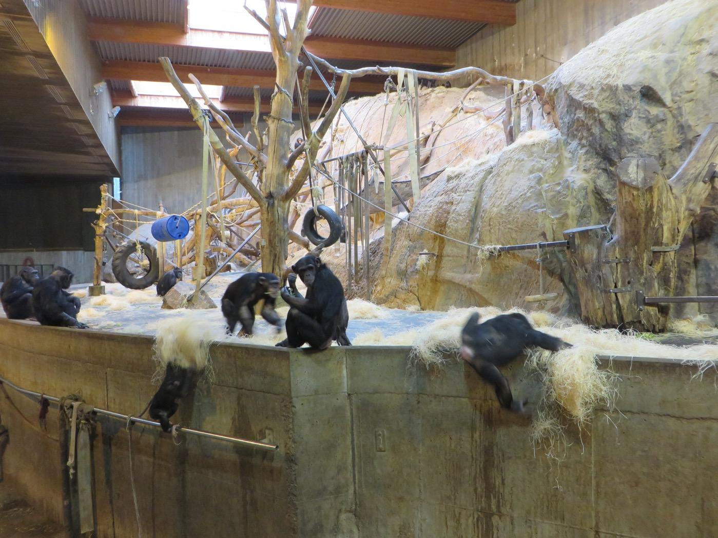 Låtande och lekande schimpanser.