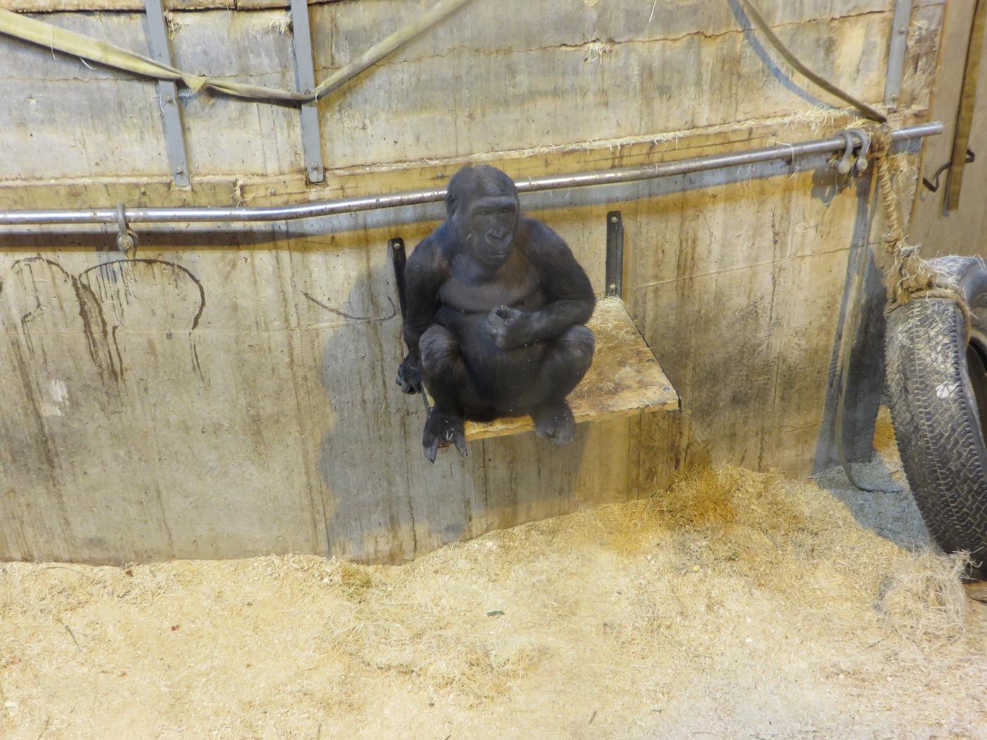 Argsint gorilla.
