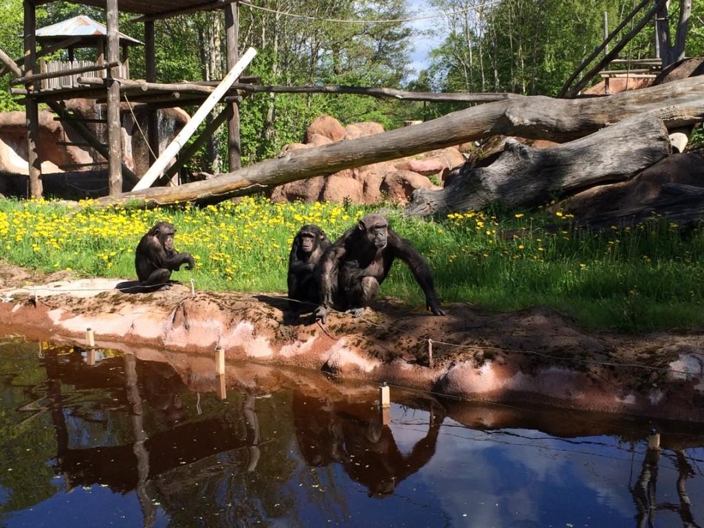 Underbara schimpanser som showar och har sig!
