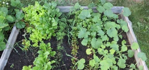 Grönsaksodlingen hemma på tomten.