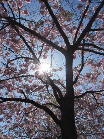 Solen sken över Kungsträdgården och körsbärsträden står i full blom