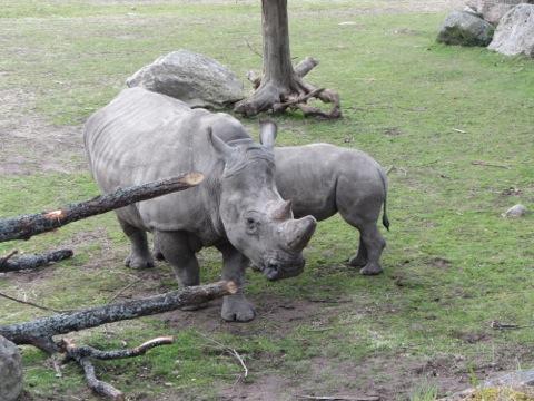 Noshörningsmamma som diar sitt barn