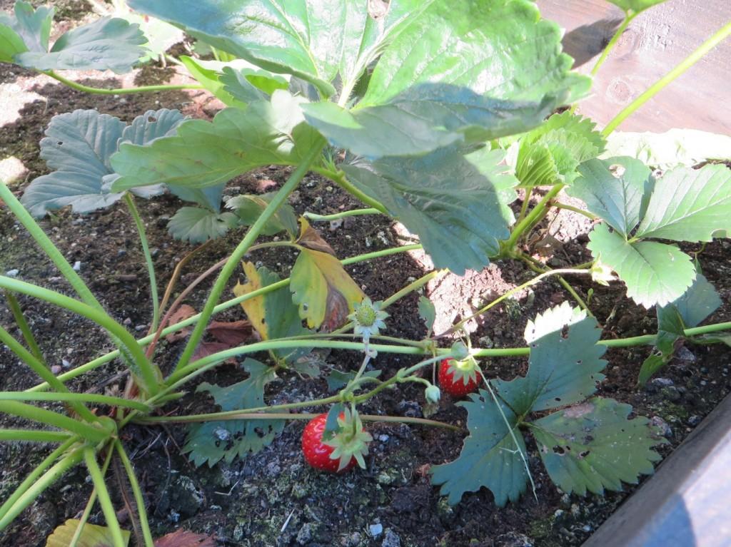 En liten, liten jordgubbsskörd