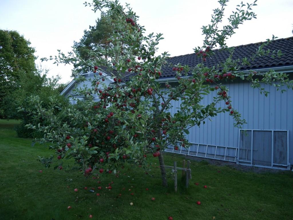 Äppelträdet på min tomt, fullt med röda krispiga supergoda äpplen.