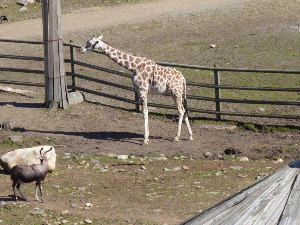 Fin giraff!