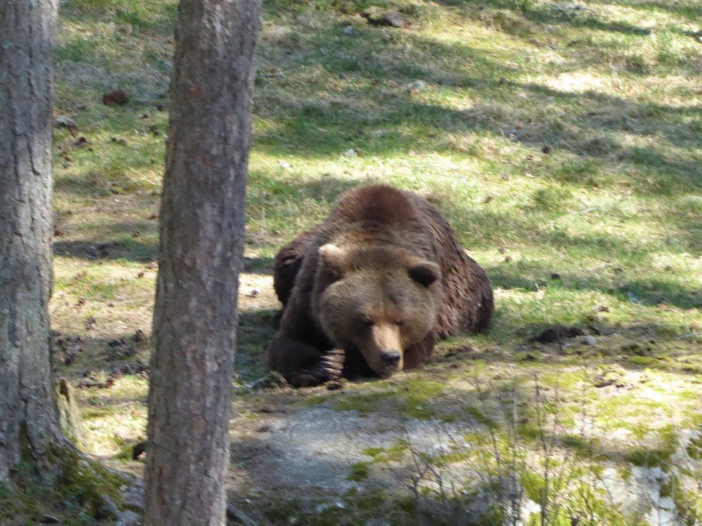 Brumbjörn.