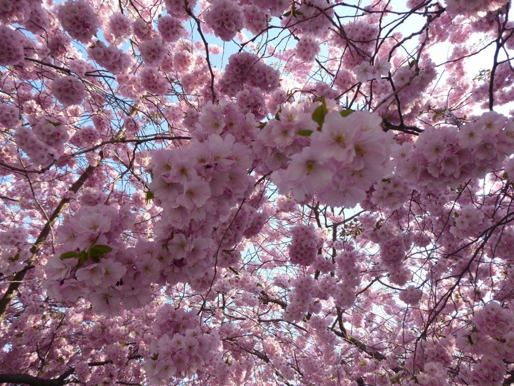 Körsbärsblommans dag