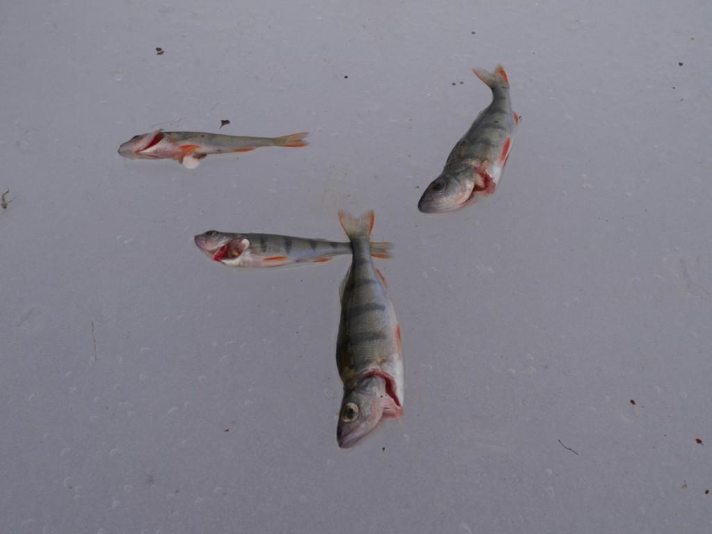 Några av fiskarna vi fångade.