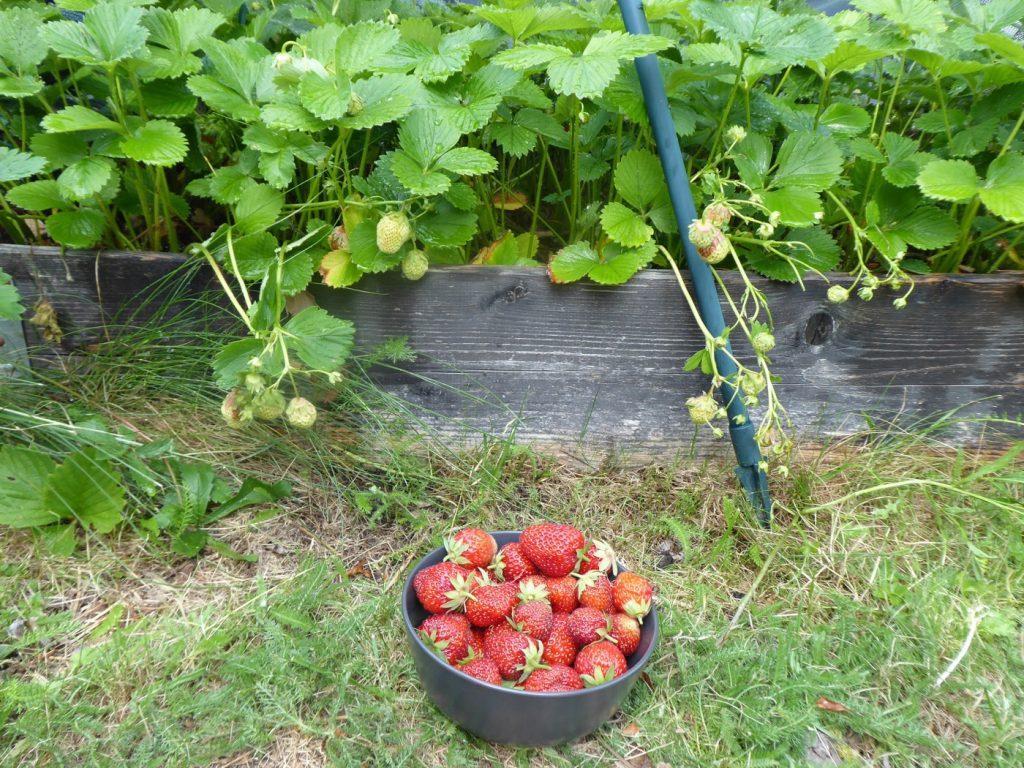 Odla jordgubbar i pallkrage
