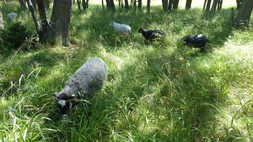 Ulliga och gulliga får på grönbete.