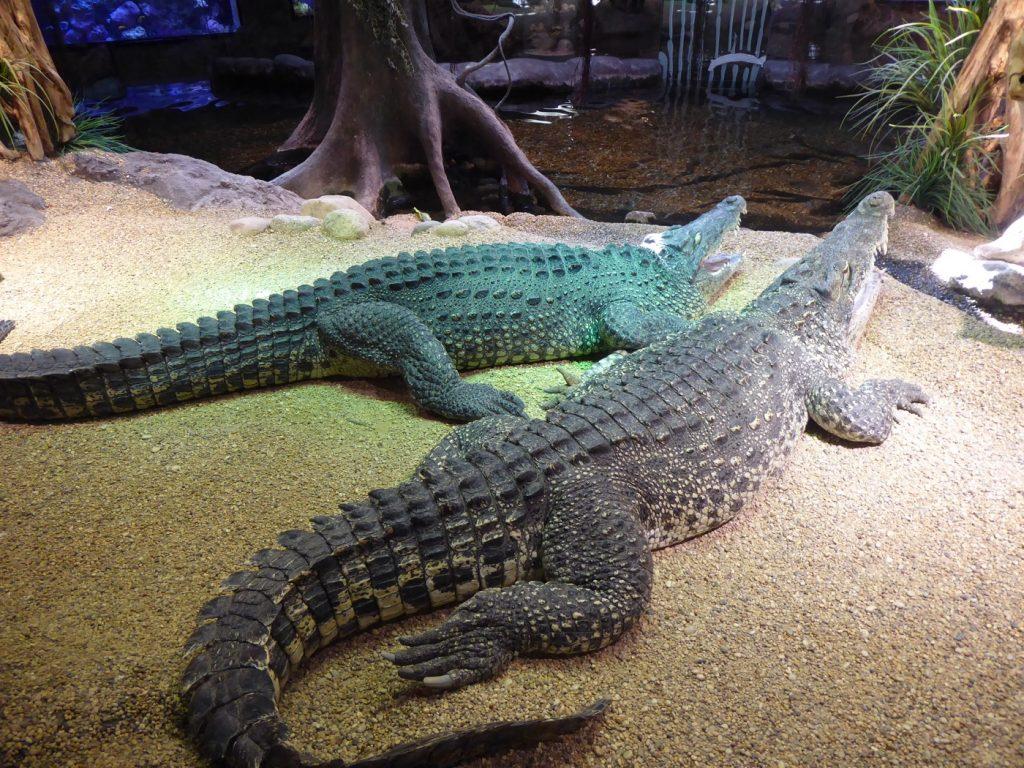 Krokodilerna ligger blixtstilla och ser nästan döda ut.