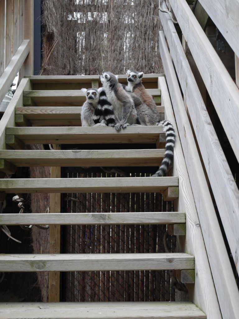 Lemurernas värld.