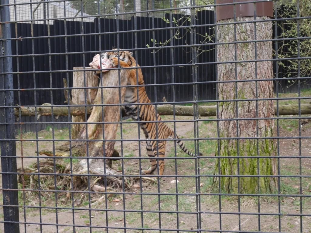 Tigrarna matas.