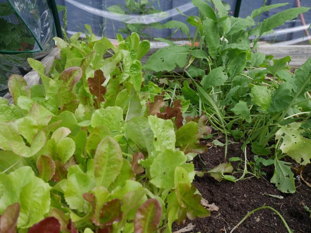 Grönsaksodlingen har gett fin skörd i år.