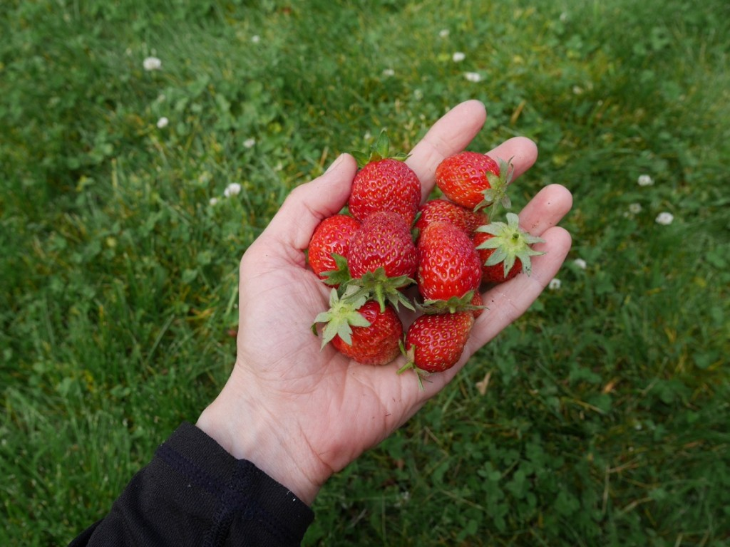 Underbart söta, röda jordgubbar.