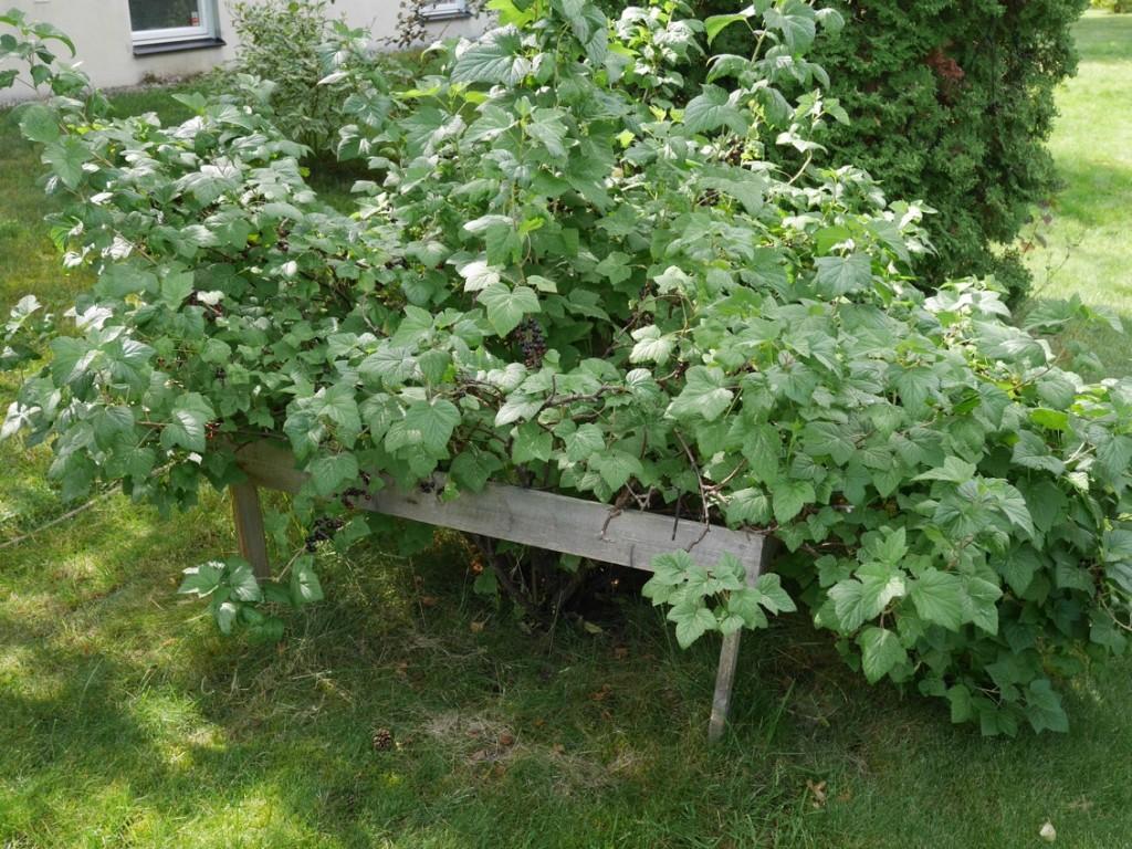 Stor och fin buske med svarta vinbär.