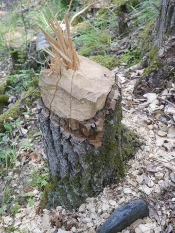 Ingen tvekan vem skogen tillhör!