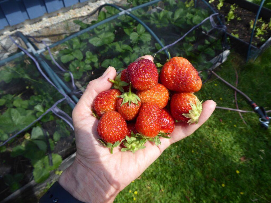 Jordgubbar från vårat jordgubbsland.