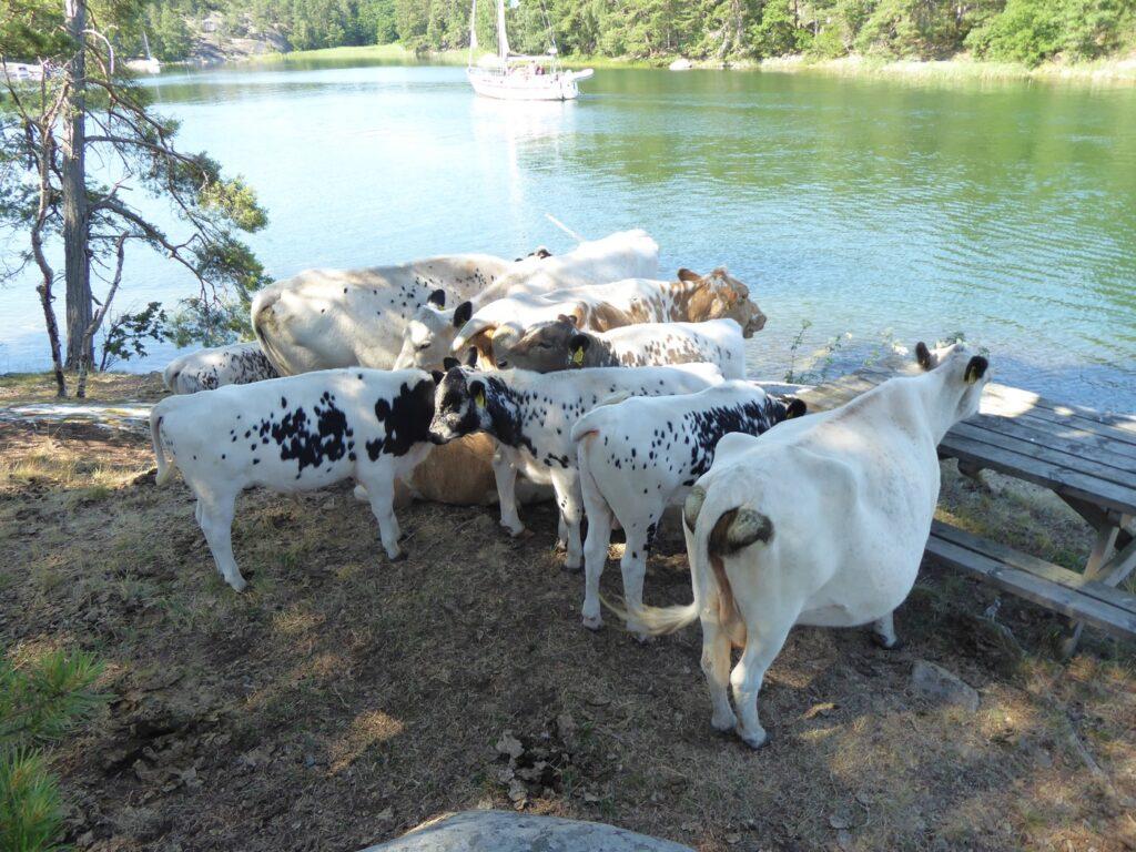 Se upp för kossor och får!