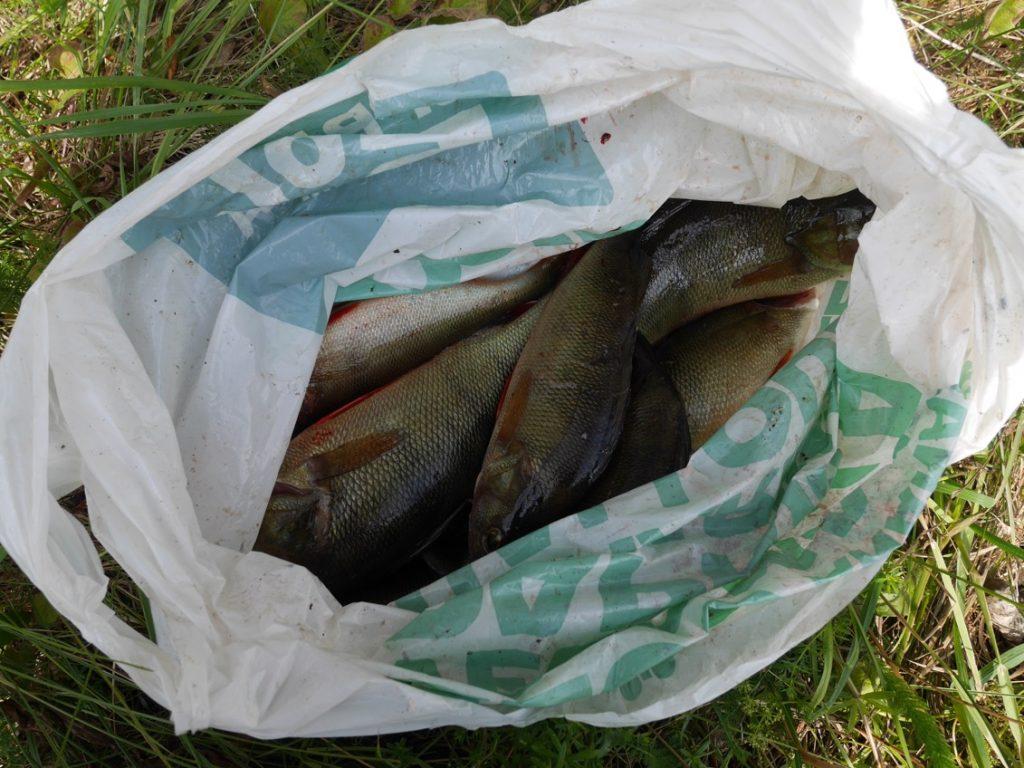 Hälften av fisken togs med hem, hälften kastades levande tillbaka i sjön.