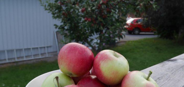 Älskar de äpplen jag har i min trädgård.
